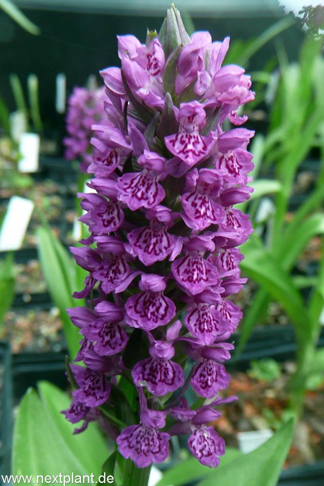 Nextplant Gartenorchideen Eine Rarität Wird Populärnextplant