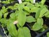 Zweijährige Jungpflanze in Pflanzschale