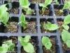 Zweijährige Jungpflanzen in Baumschulplatte