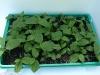 Zweijährige Jungpflanzen in Pflanzschale