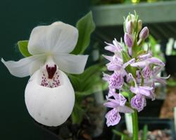Gartenrorchideen / Freilandorchideen