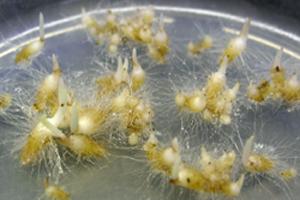 In-vitro-Aussaat Dactylorhiza
