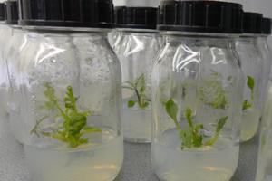 In-vitro-Vermehrung